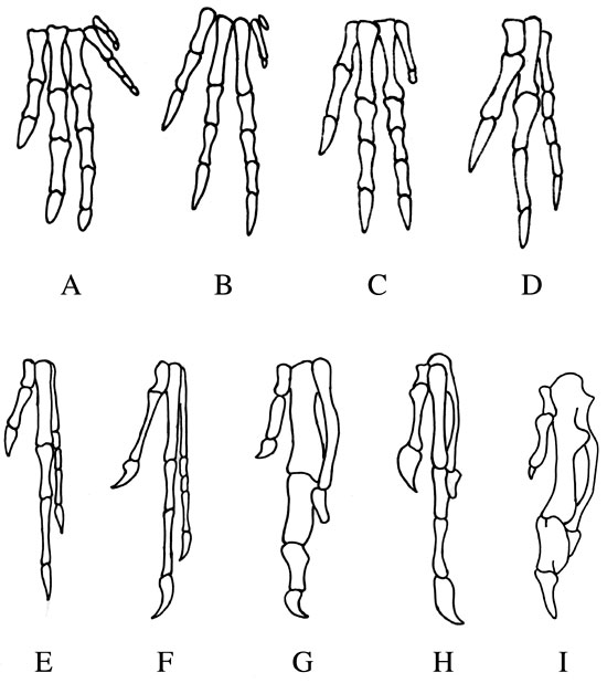 Mesozoic Matters: Bird hands have digits I, II and III « Hidden ...